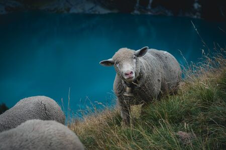 funny portrait of a sheep on the steep slopes high above Oeschinensee near Kandersteg