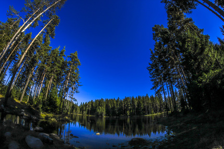 wide angle lens: Sky in Pine Forest. Looking up in Pine Forest with wide angle lens.