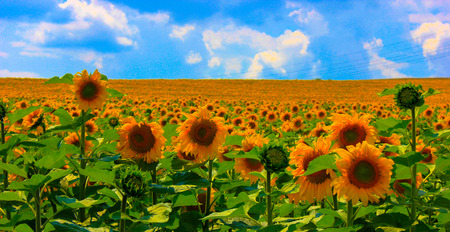 field of blooming sunflowers on a blue sky photo