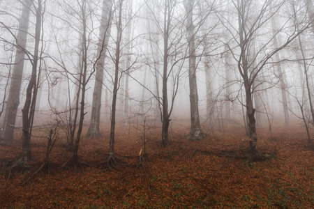 Mysterious landscape of foggy forest photo