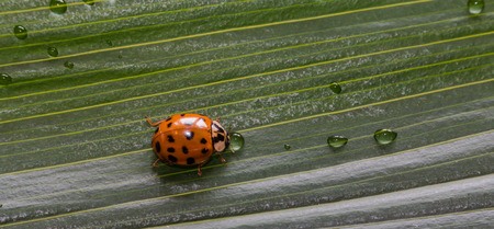 Close-up little ladybug on green plant leaf with water drops photo