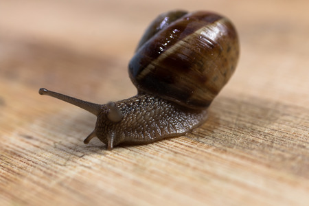 slithery: snail crawling on a wooden table close-up