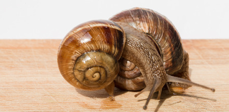 crawl: two snail crawl and play on the wooden table