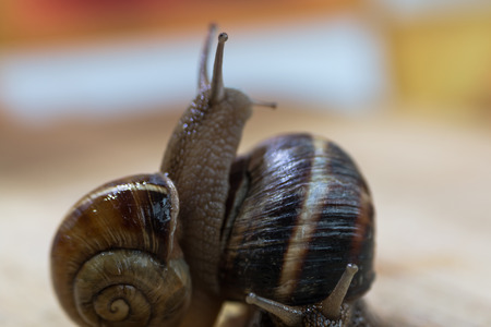 slithery: two snail crawl and play on the wooden table