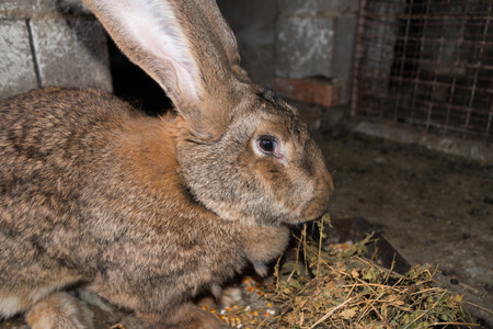rabbit in cage: Brown rabbit giant in cage close-up Stock Photo