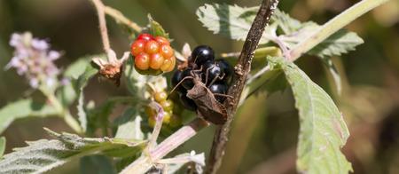palomena: Brown shield bug (Palomena prasina)
