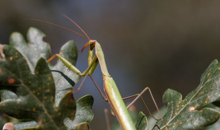 mantid: Praying Mantis Perched On A Tree close-up