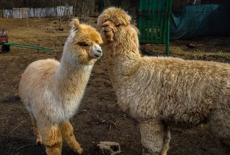 Two cute alpaca baby in the barn close up