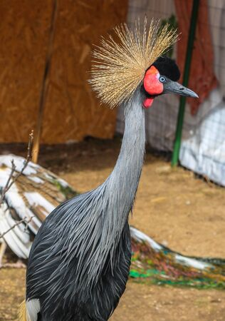 Beautiful portrait of African crowned crane