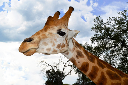 giraffe in a zoo looking at you