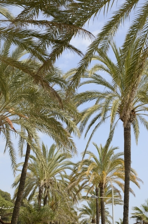Upper part of palm trees  at the promenade at the beach of marbella, Andalusia, Spain