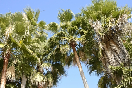 Leafy leaves at the top of palm trees in the promenade of the beach of Estepona, Andalusia, Spain.