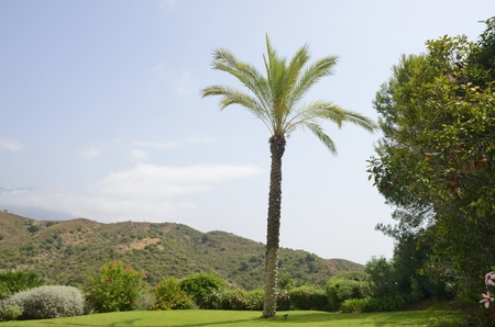 Palm tree in garden among mountains of Marbella, Andalusia, Spain. Stock Photo