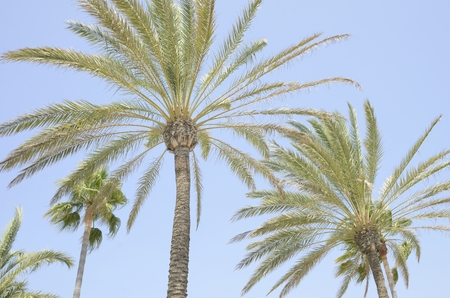 Palm trees at the sky in the beach promenade of Marbella, Andalusia, Spain.