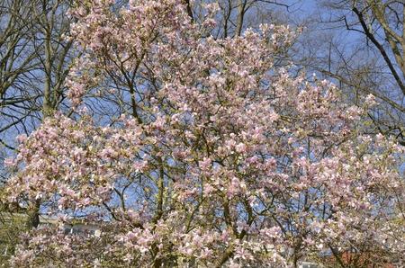 Pink flowers on tree at the botanical garden in Leuven, Belgium.