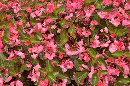 Background of vibrant pink flowers  in garden of Bergamo, Italy. 免版税图像