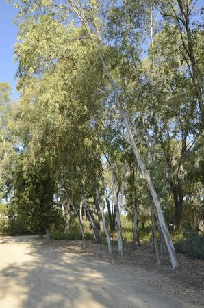 Footpath among eucalyptus trees at park located in Madrid, the capital of Spain.