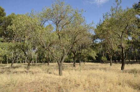 Trees  on arid field at park located in Madrid, the capital of Spain.