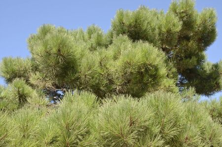 Top of pine tree on Ronda road, Andalusia, Spain.