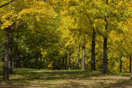 the yellowish ginkgo forest in autumn