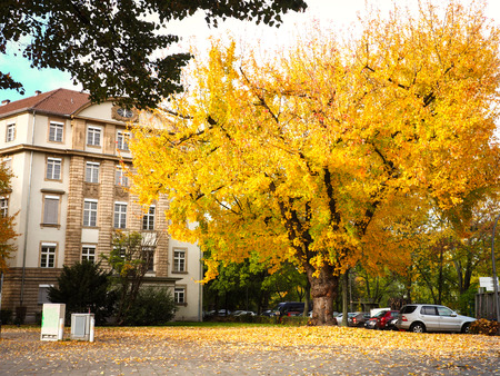 Colorful garden with maple tree and fall leaves cover the ground near car parking and street of city background in autumn season, Berlin, Germany
