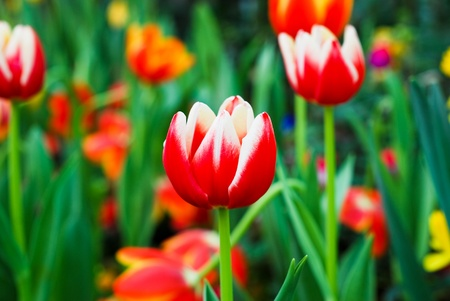 Tulips bloom beautifully