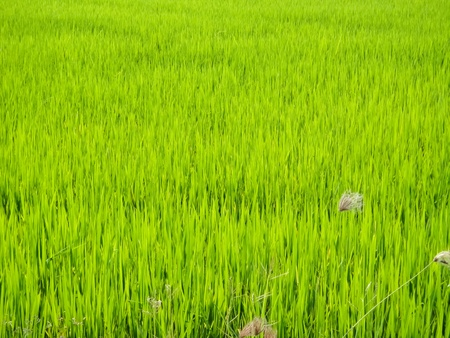Rice seedlings in paddy fields Stock Photo - 9486079