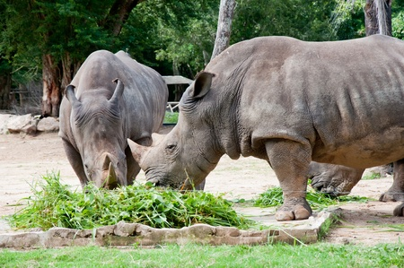 His big green rhinoceros at a zoo in Thailand Stock Photo - 11001432