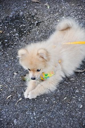 Pomeranian puppies are beautiful photo