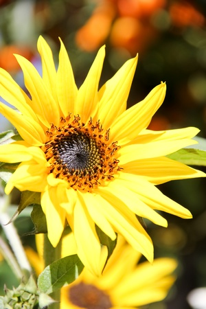 The beauty of a sunflower in Thailand Stock Photo - 11989344