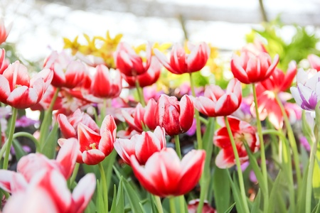 Colorful tulips in the park, Chiang Mai, Thailand
