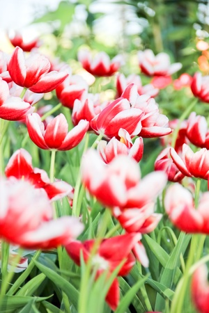 Colorful tulips in the park, Chiang Mai, Thailand Stock Photo - 12003274