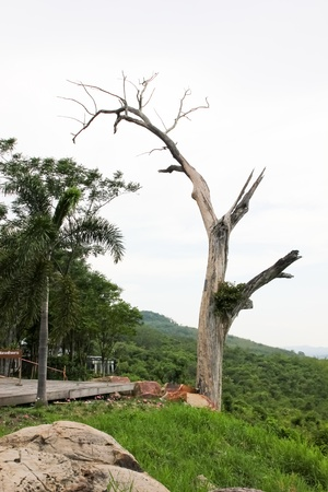 Tree with no leaves in the tropics