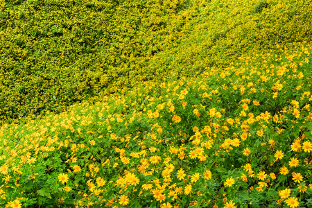 Mexican Sunflower Weed bloom in November of each year at Doi Mae U neck. Mae Hong Son Province, Thailand Stock Photo
