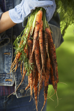 Person holding bunch of carrots outdoors, mid section Stock Photo - 3812611
