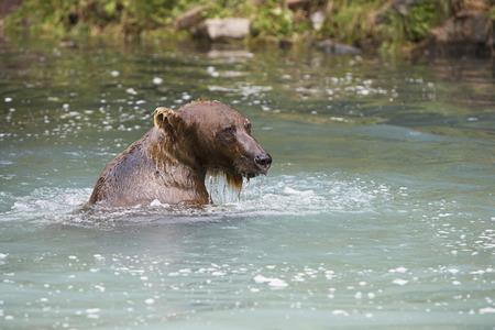 USA, Alaska, Brown Bear swimming in river Stock Photo - 3811496