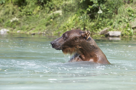 USA, Alaska, Brown Bear swimming in river Stock Photo - 3811503