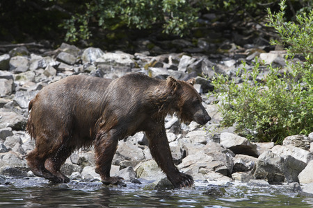 USA, Alaska, Brown Bear walking by water edge, side view Stock Photo - 3811554