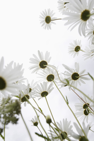 Field of Daisy flowers, low angle view, close up Stock Photo - 3811303