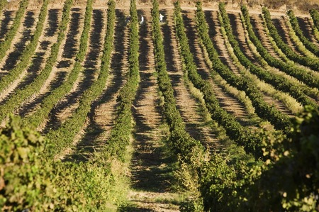 Rows of Grapevines Stock Photo - 5438017