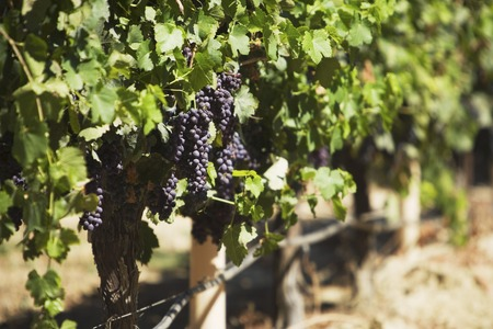 Bunches of Grapes on Vine Stock Photo - 5438018