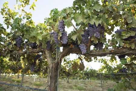 Grapevines with Bunches of Grapes Stock Photo - 5438019