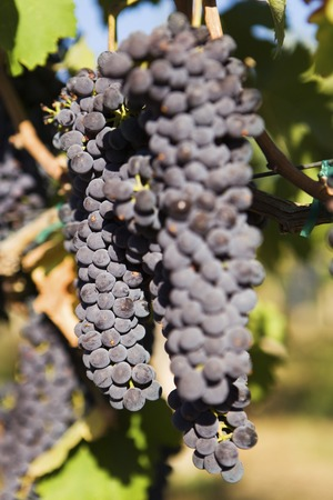 Bunch of Black Wine Grapes Stock Photo - 5438020