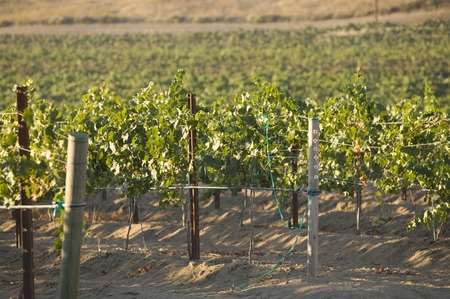 Grape vines in vineyard Stock Photo - 5438026