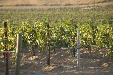 Grape vines in vineyard Stock Photo - 5438026