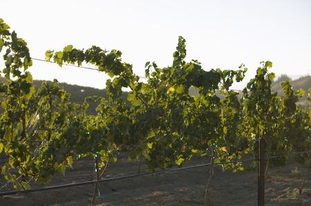 Grape vines in vineyard Stock Photo - 5438027