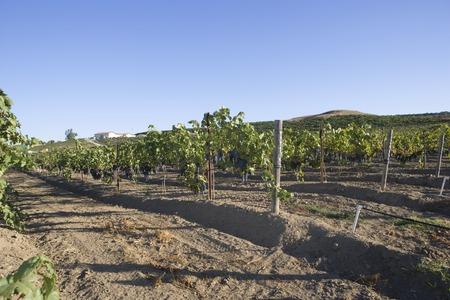 Grape vines in vineyard Stock Photo - 5438061