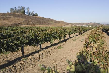 Grapes in vineyard Stock Photo - 5438064