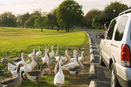 Geese Looking at Boy in Minivan Stock Photo - 5476437