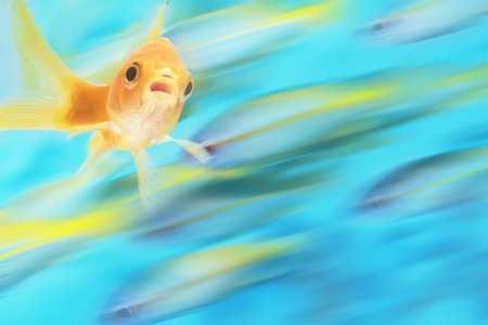digital composite: Gold fish with school of fish in motion in background, digital composite